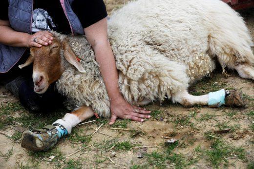 La increíble granja israelí que cuida y recupera animales discapacitados